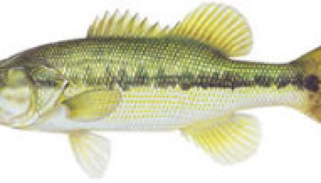 FIshes found in the North Fork - Spotted Bass featured
