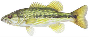 FIshes found in the North Fork - Spotted Bass