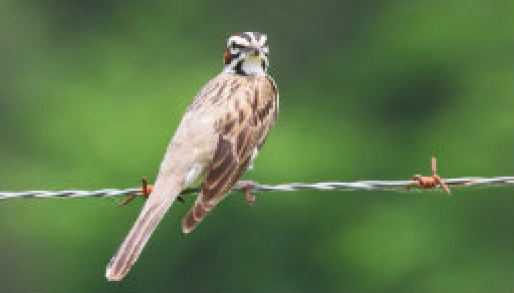 Fairly rare Lark Sparrow on the ROLF road featured