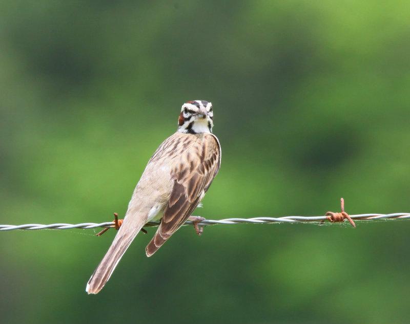 Fairly rare Lark Sparrow on the ROLF road
