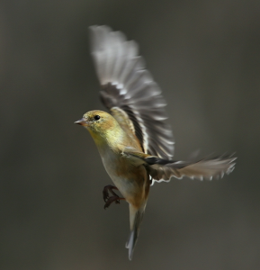Female American Goldfinch in landing position