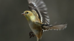 Female American Goldfinch in landing position featured