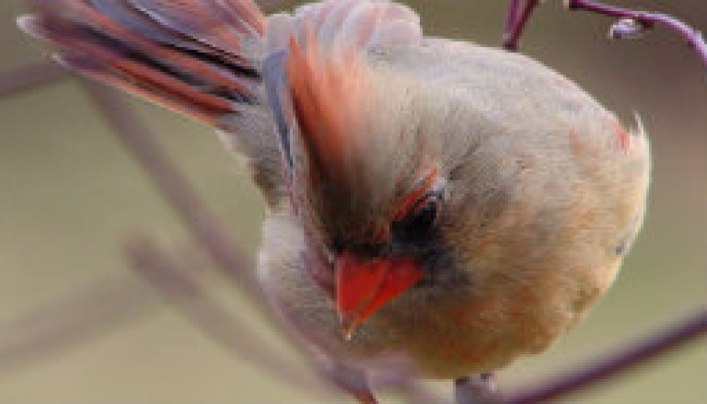 Female Cardinal picture from yesterday featured