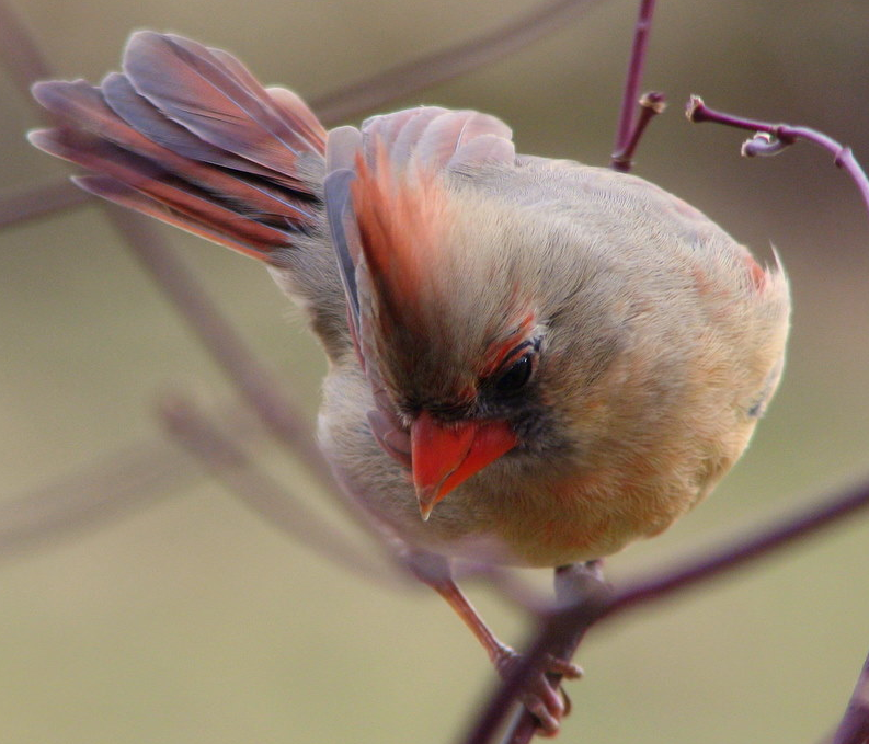 Female Cardinal picture from yesterday