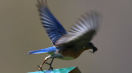 Female Eastern Bluebird entering flight featured