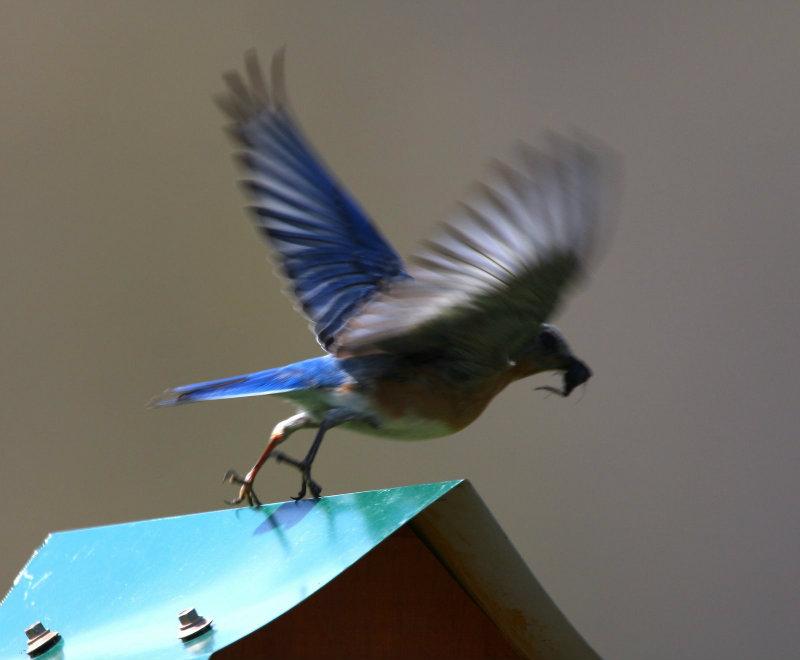 Female Eastern Bluebird entering flight