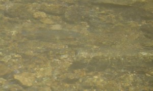 Find the trout in the North Fork of the White