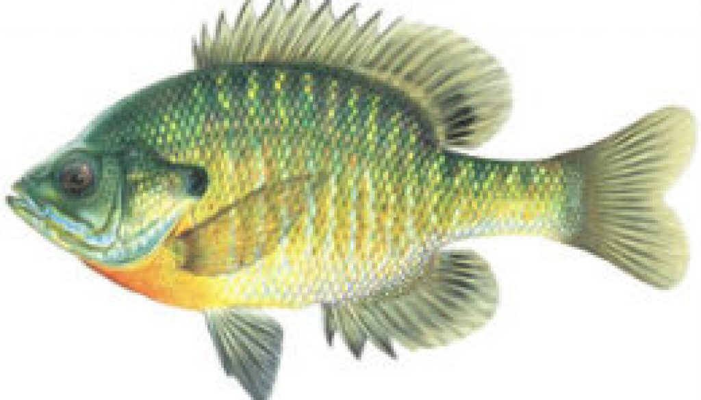Fishes found in the North Fork - Bluegill Sunfish featured