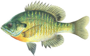 Fishes found in the North Fork - Bluegill Sunfish