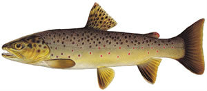 Fishes found in the North Fork - Brown Trout