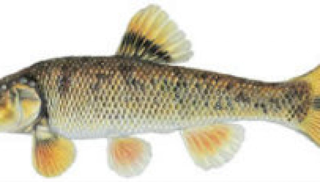 Fishes found in the North Fork - Central Stoneroller featrured