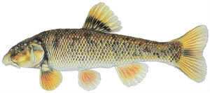 Fishes found in the North Fork - Central Stoneroller