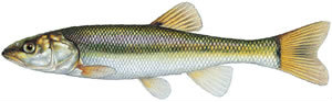 Fishes found in the North Fork - Creek Chub