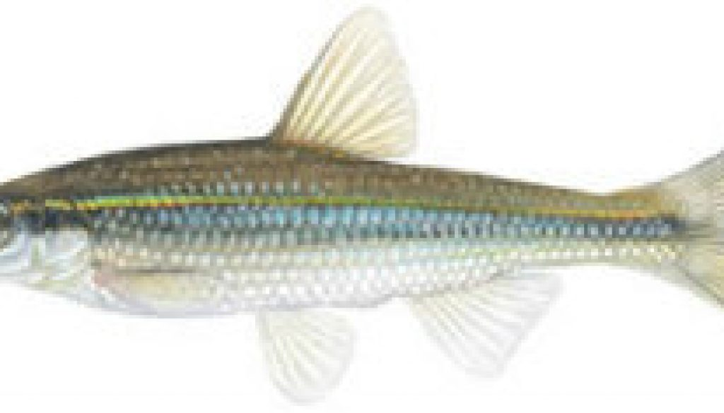 Fishes found in the North Fork - Duskystripe Shiner featured