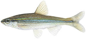 Fishes found in the North Fork - Duskystripe Shiner