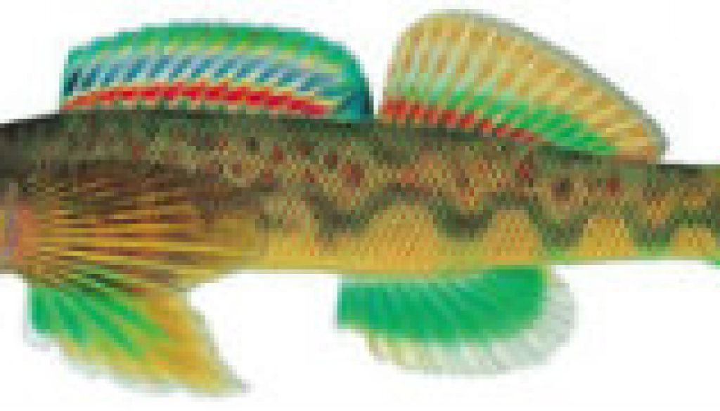 Fishes found in the North Fork - Green Side Darter freatured
