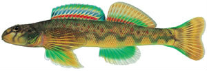 Fishes found in the North Fork - Green Side Darter