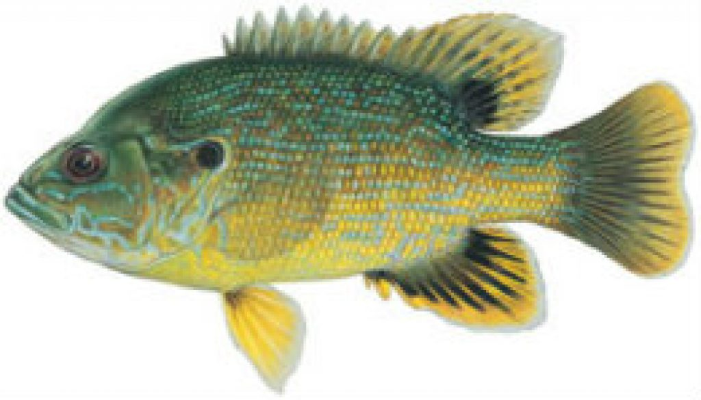 Fishes found in the North Fork - Green Sunfish featured