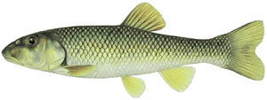 Fishes found in the North Fork - Hornyhead Chub