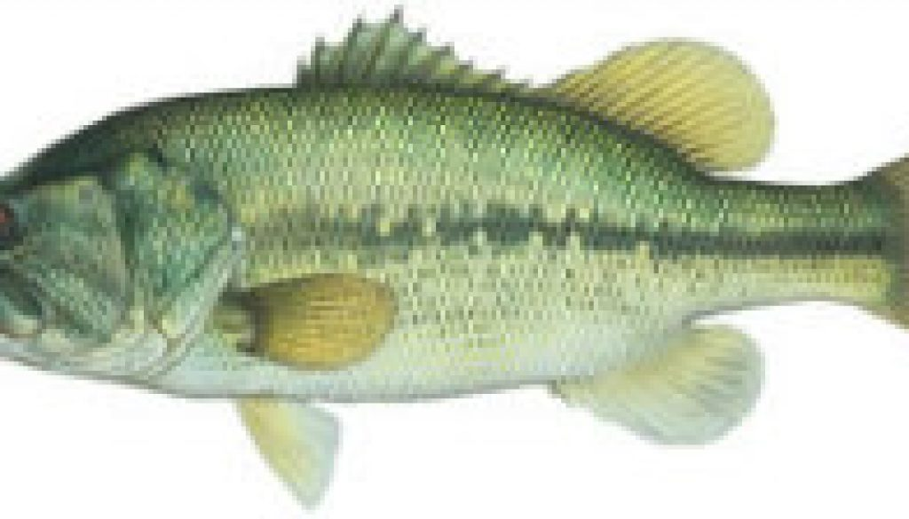 Fishes found in the North Fork - Large Mouth Bass featured