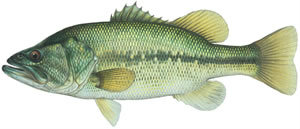 Fishes found in the North Fork - Large Mouth Bass