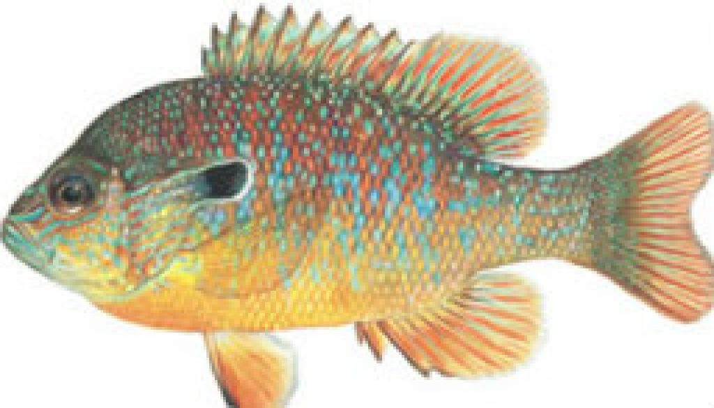 Fishes found in the North Fork - Longear Sunfish featured
