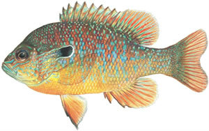 Fishes found in the North Fork - Longear Sunfish