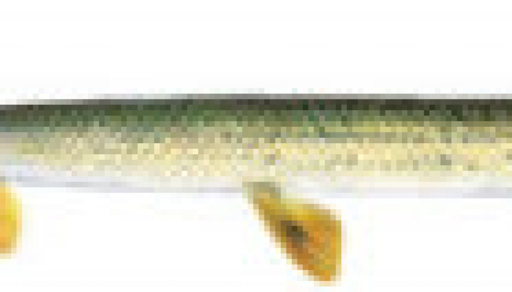 Fishes found in the North Fork - Longnose gar featured