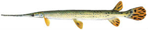 Fishes found in the North Fork - Longnose gar