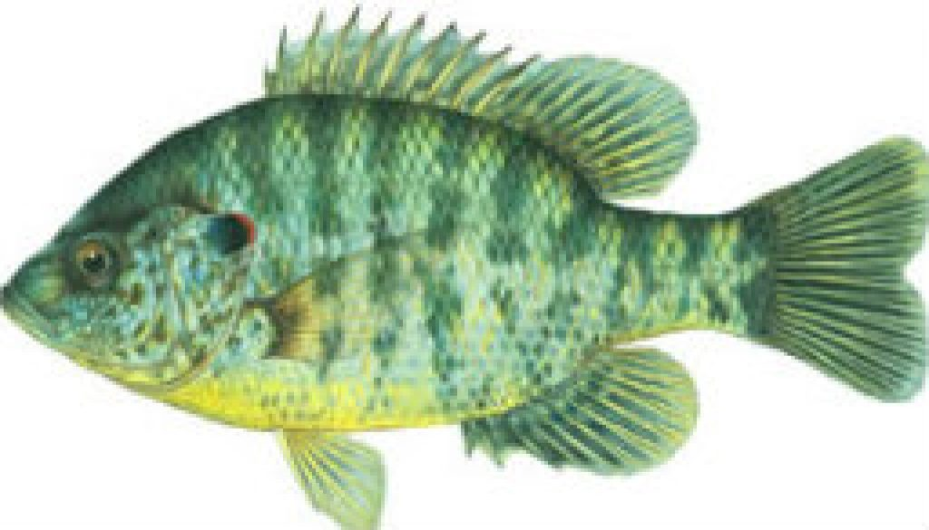 Fishes found in the North Fork - Redear Sunfish featured