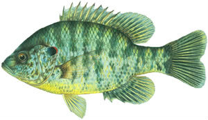 Fishes found in the North Fork - Redear Sunfish