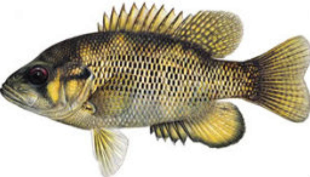 Fishes found in the North Fork - Rock Bass featured