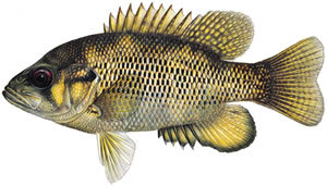 Fishes found in the North Fork - Rock Bass
