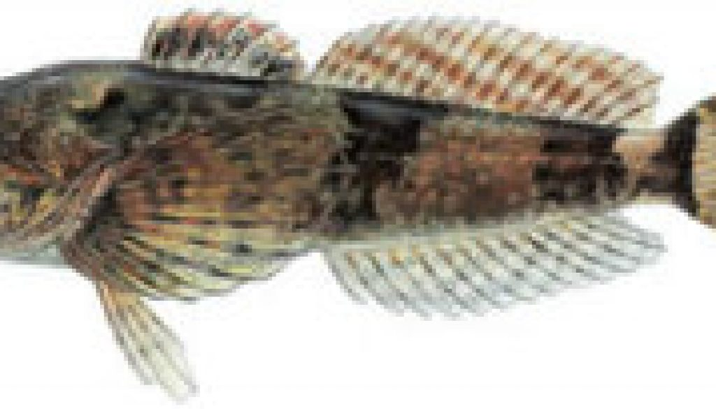 Fishes found in the North Fork - Sculpin featured