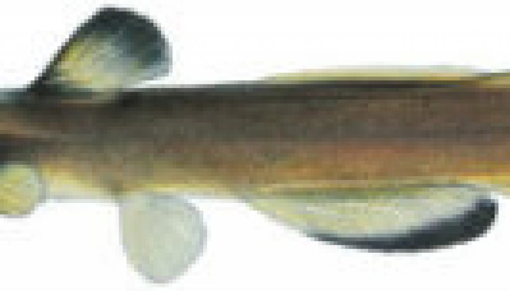 Fishes found in the North Fork - Slender Madtom featured