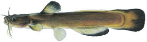 Fishes found in the North Fork - Slender Madtom
