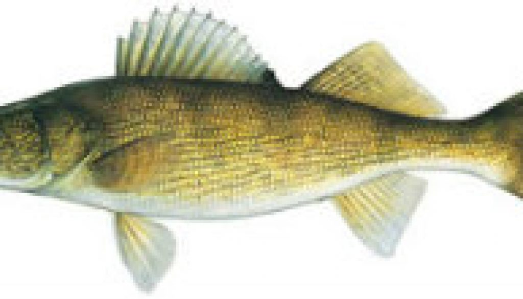 Fishes found in the North Fork - Walleye featured