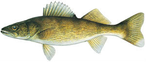 Fishes found in the North Fork - Walleye