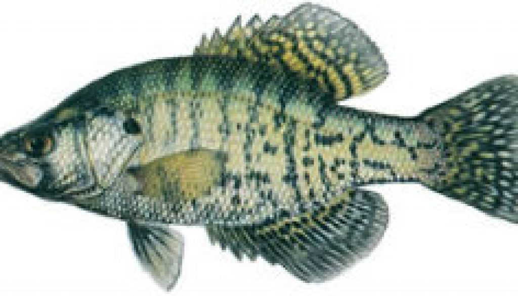 Fishes found in the North Fork - White Crappie featured