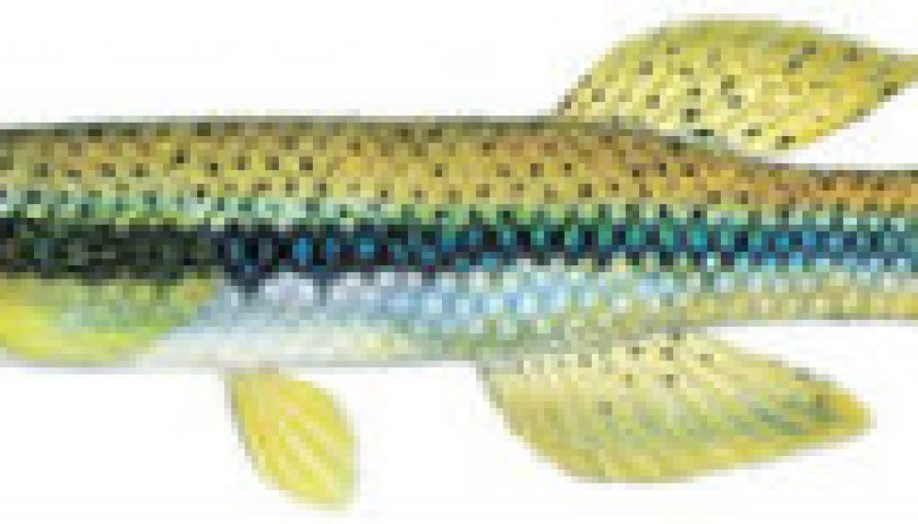 Fishes of the North Fork - Topwater Minnow featured