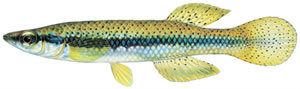 Fishes of the North Fork - Topwater Minnow