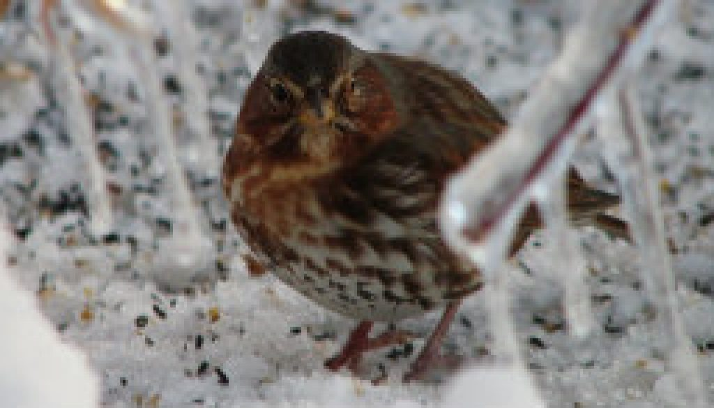 Fox Sparrow featured