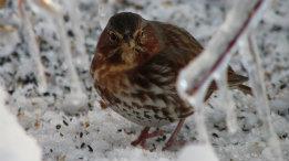 Fox Sparrow featured