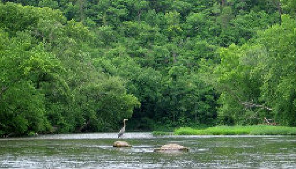 Great Blue Heron on water featured