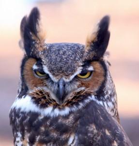 Great Horned Owl near dusk