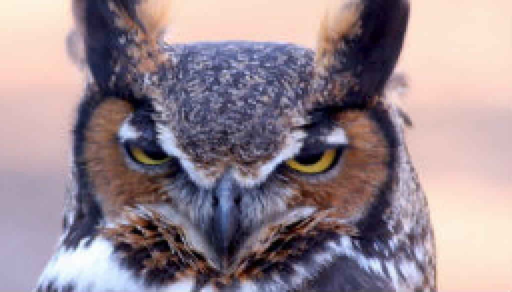 Great Horned Owl near dusk featured