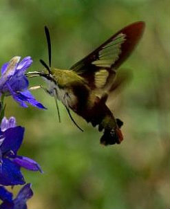 Hummingbird - NO !!! Hawk Moth - YES !!!