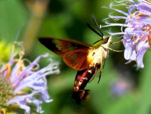 Hummingbird, NO; Moth, YES