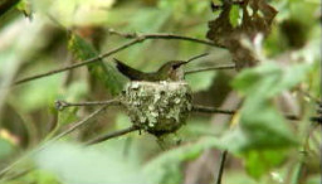 Hummingbird on nest featured