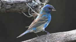 Indigo-Buntings-arrival-molting-for-the-nesting-season-featured